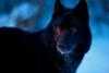 blackwolf059 - éleveur canin Dogzer