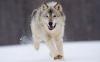chat700 - éleveur canin Dogzer