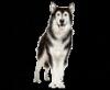 laurinedu13 - éleveur canin Dogzer