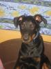 clemence2011 - éleveur canin Dogzer