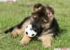 Joycinounette - éleveur canin Dogzer