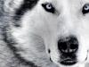 Alaska-- - éleveur canin Dogzer