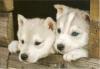 Tritus2000 - éleveur canin Dogzer