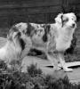 jpoisson - éleveur canin Dogzer