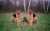 hephaistos - éleveur canin Dogzer