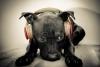 Caroliinee - éleveur canin Dogzer