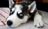 dicenice - éleveur canin Dogzer