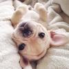 Akita-dogs - éleveur canin Dogzer