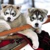 Snowinter - éleveur canin Dogzer