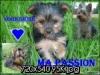 yorkshire08 - éleveur canin Dogzer