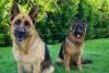 Lulu000014 - éleveur canin Dogzer