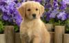 Ptipie - éleveur canin Dogzer