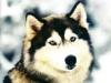 gaoua - éleveur canin Dogzer