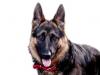 coeurdusoir - éleveur canin Dogzer