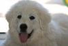 juju0987 - éleveur canin Dogzer