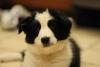 Crazylili - éleveur canin Dogzer