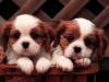 MICA603 - éleveur canin Dogzer