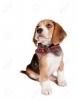 Beagle205 - éleveur canin Dogzer