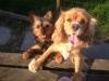 Lamisscinta - éleveur canin Dogzer