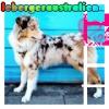 lebergeraustralien - éleveur canin Dogzer