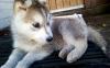 Bibzouille - éleveur canin Dogzer