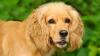 JeSuisLily - éleveur canin Dogzer