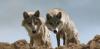 WolfLune - éleveur canin Dogzer