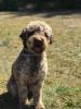 Poulpii - éleveur canin Dogzer