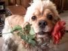 cosy - éleveur canin Dogzer