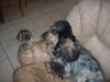 loir44 - éleveur canin Dogzer