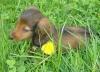 FionaCes - éleveur canin Dogzer