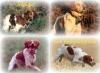 fifibraindacier2 - éleveur canin Dogzer