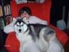 ianookhusky - éleveur canin Dogzer
