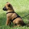 malinoise-350 - éleveur canin Dogzer