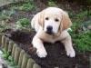 clemence68 - éleveur canin Dogzer