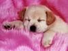 coco812 - éleveur canin Dogzer