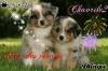 Chavrile2 - éleveur canin Dogzer
