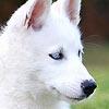Adarya - éleveur canin Dogzer