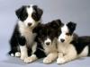 meg012010 - éleveur canin Dogzer