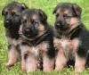 limette3000 - éleveur canin Dogzer