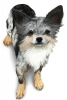 Chibii_kira - éleveur canin Dogzer