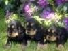 taro1 - éleveur canin Dogzer