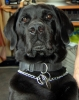 violonique - éleveur canin Dogzer
