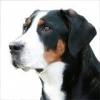 Chico_89 - éleveur canin Dogzer