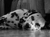 grout138 - éleveur canin Dogzer