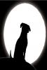 goldentess - éleveur canin Dogzer