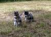 amoli15 - éleveur canin Dogzer