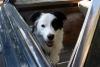 Alisha_Border_collie - éleveur canin Dogzer