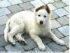 cappu1 - éleveur canin Dogzer