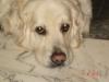 vanille66 - éleveur canin Dogzer